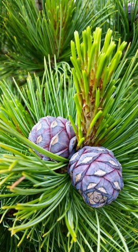 PHOTO: Pinus cembra 'Blue Mound'.