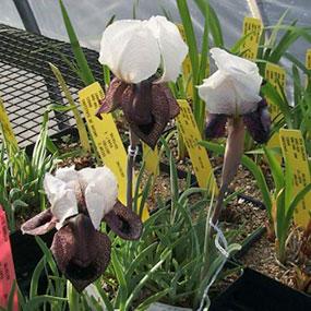 Iris iberica ssp. Elegantissima