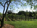 PHOTO: Grapes in the orchards at Monticello.