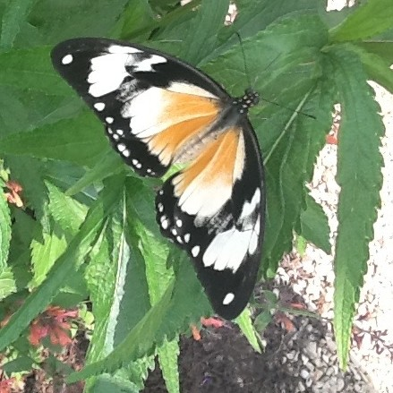 Mocker Swallowtail Uses Imitation for Survival