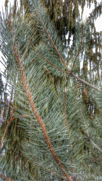 PHOTO: Pinus sosnowskyi.