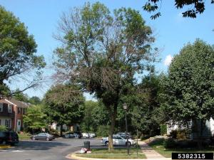 PHOTO: A neighborhood ash tree with huge gaps in foliage, caused by dieoff from borer damage.