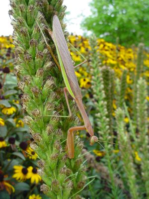 PHOTO: Preying mantis on liatris bloom in August.