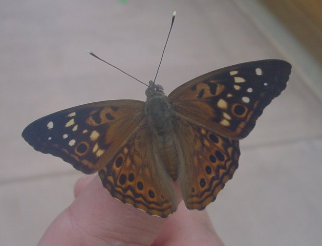 PHOTO: Hackberry emperor butterly shown with its characteristic pattern of black and white stripes against brownish orange background.
