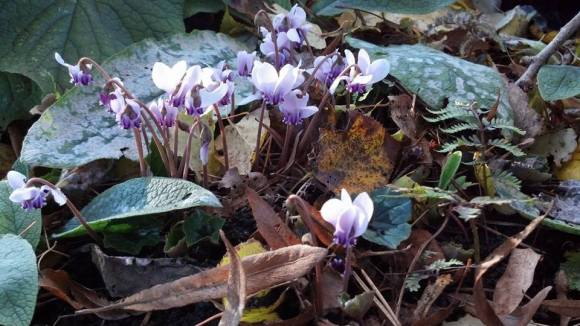 PHOTO: Cyclamen bloom through the leaf litter in Home Landscape Garden.