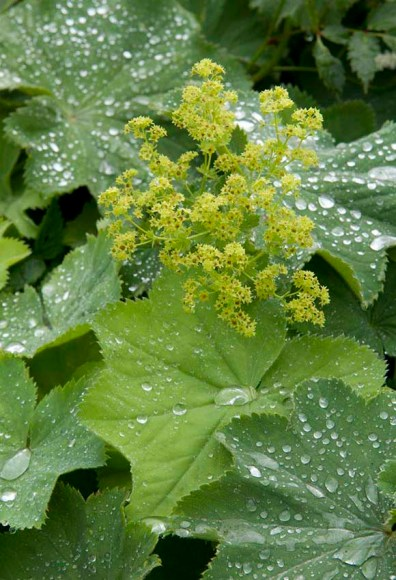 PHOTO: Alchemilla mollis 'Thriller'