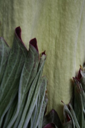 PHOTO: Closeup of spathe loosening from spadix of Amorphophallus titanum at the Sydney Royal Botanic Gardens 2 days before opening (in 2008).