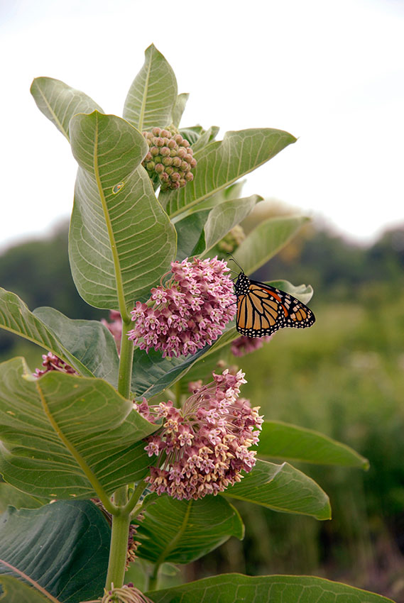Red Butterfly Milkweed Asclepias Curassavica Red: Which Native Milkweeds Should You Plant For Monarch