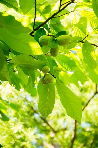 PHOTO: Asimina triloba