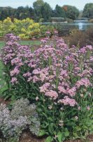 PHOTO: Aster tataricus 'Jindai'