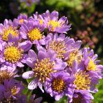 PHOTO: Aster tataricus 'Jindai' in bloom.