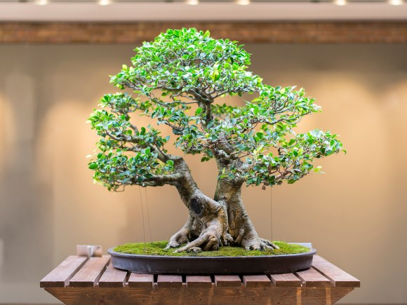 PHOTO: Back of bonsai ficus tree.