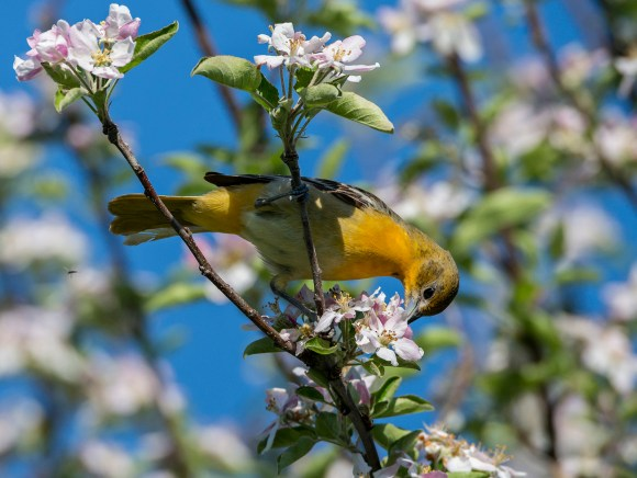 PHOTO: A female Baltimore oriole enjoys nectar from an apple blossom in the spring.