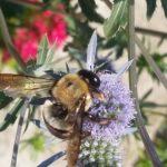 Bee - Carpenter bee 4