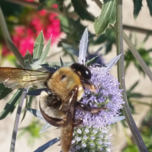 PHOTO: a carpenter bee perched on a eryngo flower.