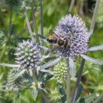 Bee - Megachile 2