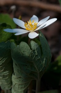 PHOTO: Bloodroot