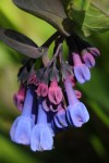 Virginia bluebells (Mertensia virginica) ©Carol Freeman