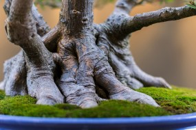 PHOTO: A bonsai's nebari, or surface roots; the base of the tree.