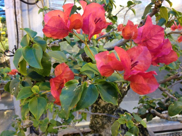 PHOTO: Bougainvillea bonsai.