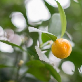 PHOTO: Calamondin orange (x Citrofortunella microcarpa).