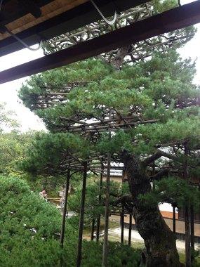 PHOTO: The ancient pine at Kinkaku-Ji with branch supports.
