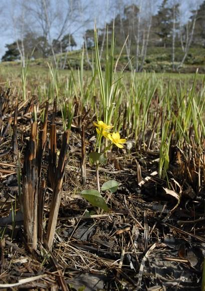 PHOTO: New growth after a prairie burn.