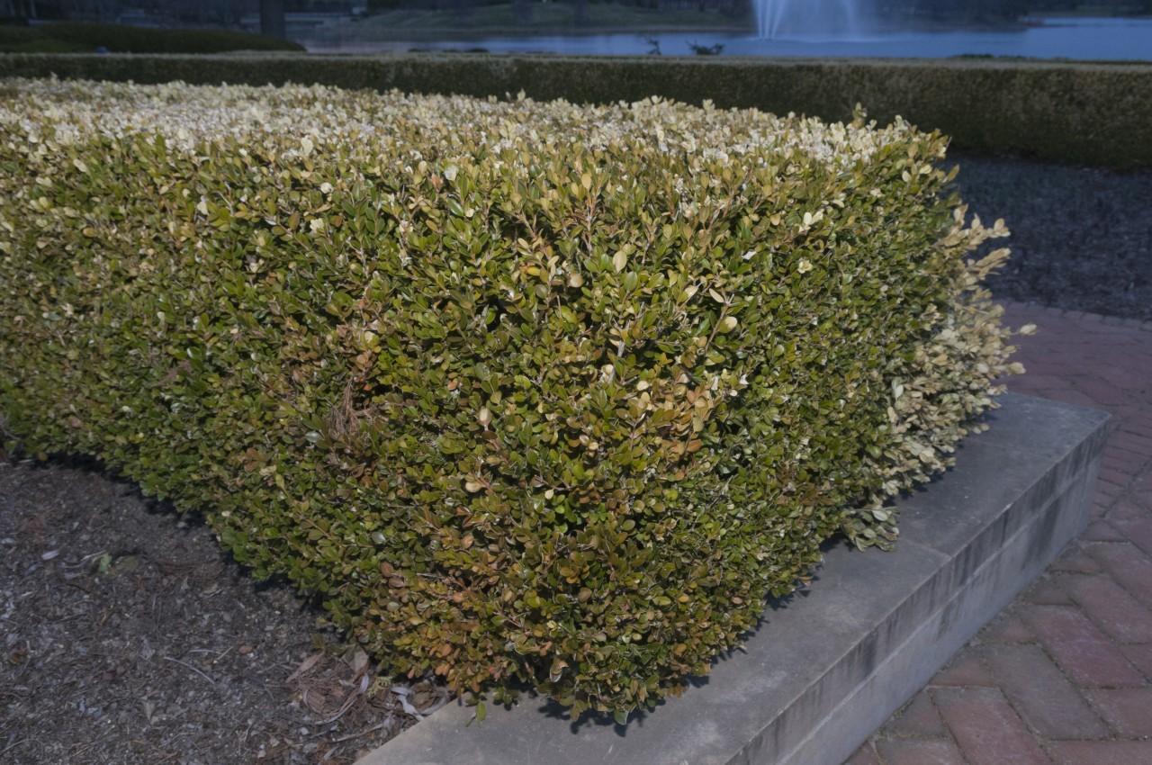 overcoming winter scorch my chicago botanic garden