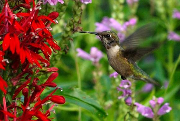PHOTO: Hummingbird hovering near red salvia.
