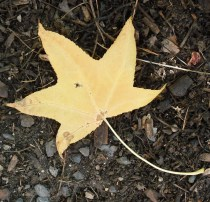 PHOTO: close up of a yellow, star-shaped leaf