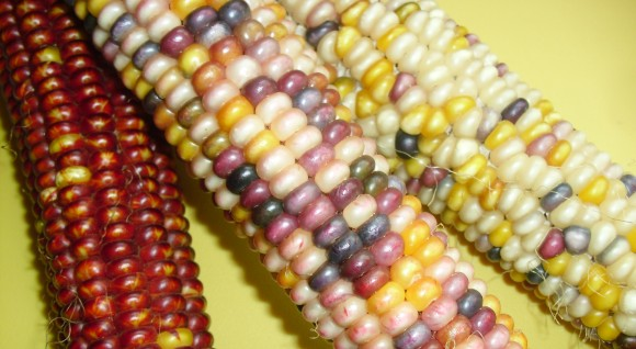 PHOTO: Indian corn.