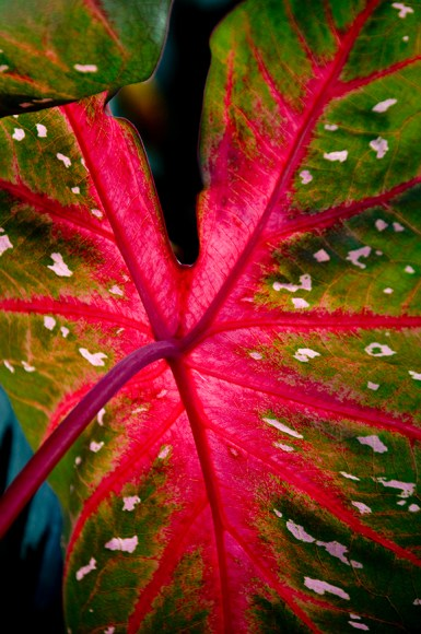 Caladium 'Red Flash'