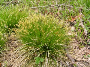 PHOTO: A clump of blooming sedge grass.