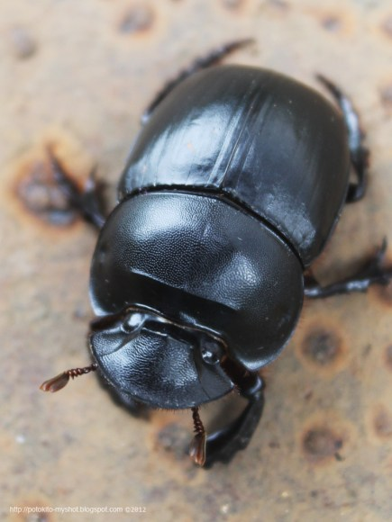 PHOTO: Dung beetle (Catharsius sp.)