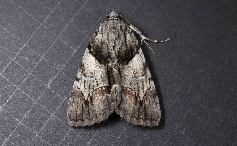 PHOTO: Catocala blandula (Charming Underwing) moth.
