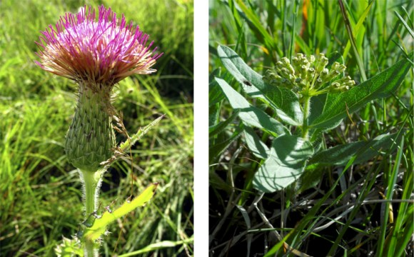 PHOTO: Hill's thistle and wooly milkweed in the field.