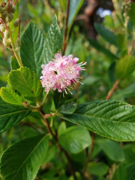 PHOTO: Clethra alnifolia 'Rosea'