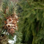 PHOTO: Conifers.