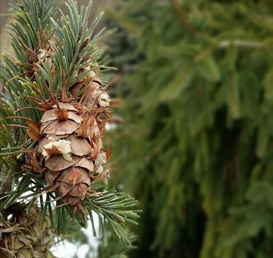 PHOTO: Conifers.