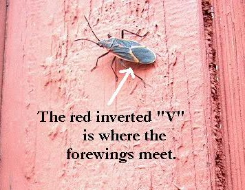 "PHOTO: this closeup of a boxelder bug has an arrow pointed to the red ""V"" on the bug's back where the forewings meet."