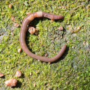 PHOTO: Crazy Worm (Amynthas agrestis).