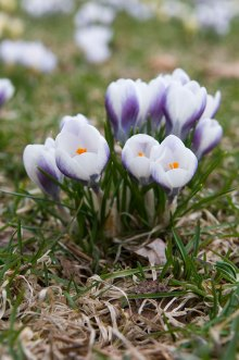 PHOTO: Crocus chrysanthus 'Blue Pearl'