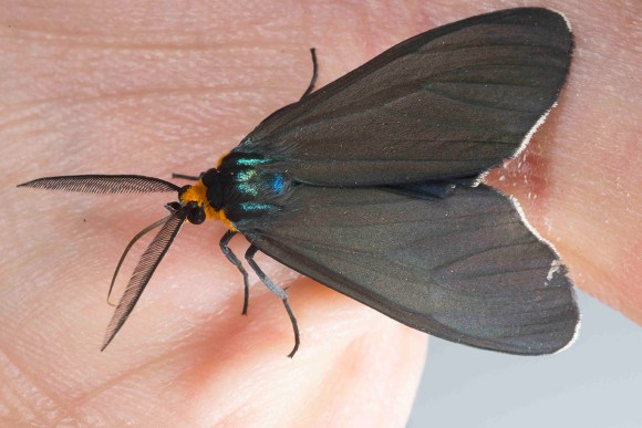 PHOTO: Ctenucha virginica (Virginia Ctenucha) moth.