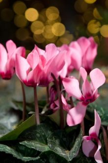 Cyclamen 'Salmon with Eye'