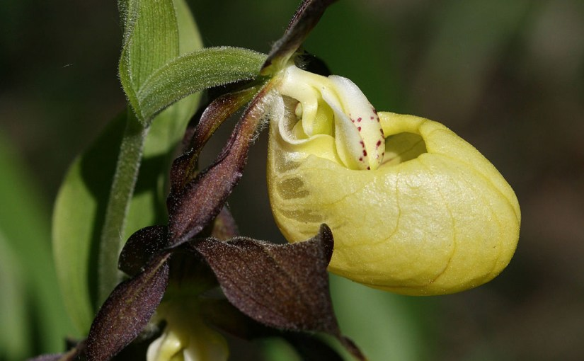 PHOTO: Cypripedium calceolus.