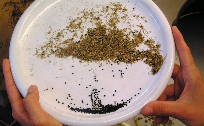 PHOTO: Hands hold a plate of seeds being sorted from chaff.