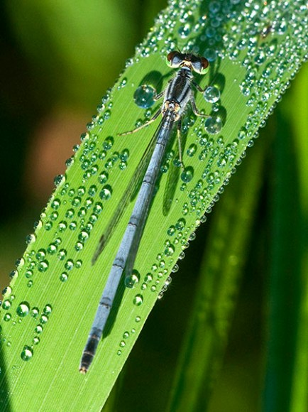 PHOTO: Female Eastern Forktail damselfly.