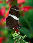 Antiochus Longwing, ©Carol Freeman
