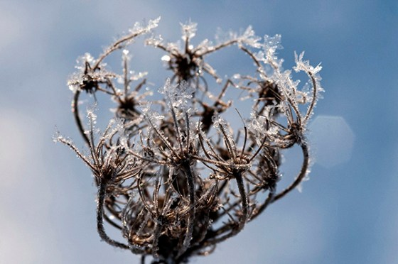 Magical, ephemeral, frost formations, only seen on the perfect winter morning. © Carol Freeman.