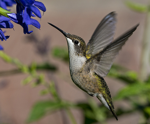 There are many young hummingbirds zipping around, taking advantage of all the wonder nectar sources. You can find them almost anywhere in the garden where there are flowers. ©Carol Freeman